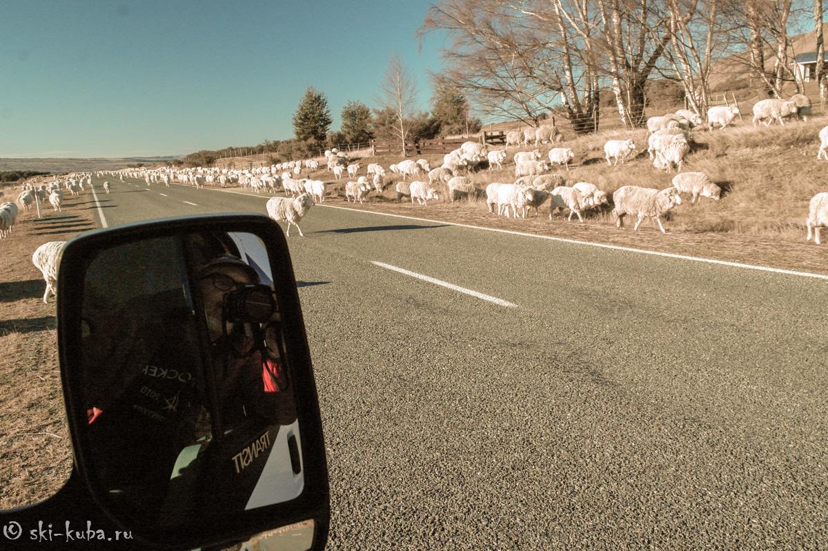 Овцы в Новой Зеландии есть всюду